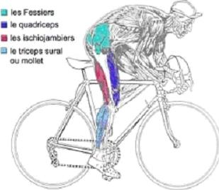 que muscle le vélo