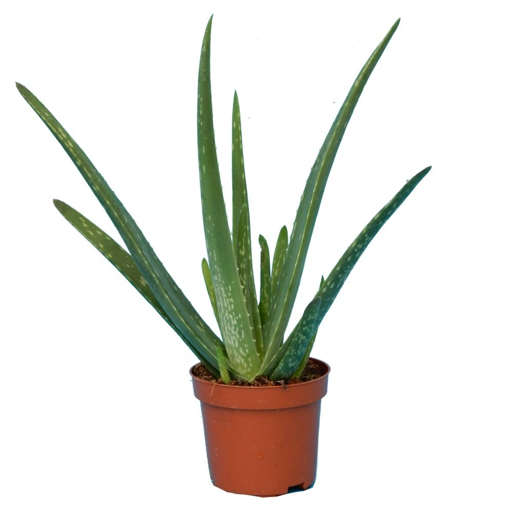 aloe vera plante